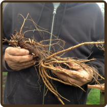FUGGLE EXTRA LARGE ROOTED CUTTING (Organic)