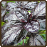 BASIL, AMETHYST - Ocimum basilicum (NOT AVAILABLE)