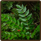 OREGON GRAPE, CASCADE (Organic) - Berberis nervosa