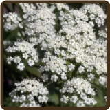 ANISE (All Natural) - Pimpinella anisum