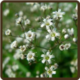 BABY'S BREATH (All Natural) - Paniculata