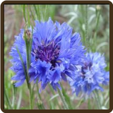 BACHELOR'S BUTTONS or CORN FLOWER (Organic) - Centaurea cyanus