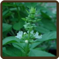 BASIL, BAJA (Organic) - O. basilicum (SOLD OUT)