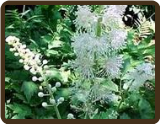 BLACK COHOSH (SOLD OUT)