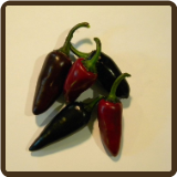 BLACK HUNGARIAN HOT PEPPER - Capsicum annuum