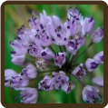 CHIVES, MAUVE GARLIC (Organic) - Allium sp.