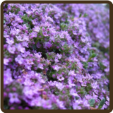 THYME, CREEPING (Organic) - Thymus serpyllum  (NOW AVAILABLE!)
