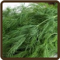 DILL (All Natural) - Anethum graveolens