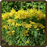 GOLDENROD, DWARF (All Natural) - Solidago virgaurea