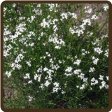 WOODRUFF, DYER'S (Organic) - Asperula tinctoria (SOLD OUT FOR 2017)