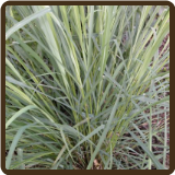 LEMONGRASS, EAST INDIAN - Cymbopogon flexuosus