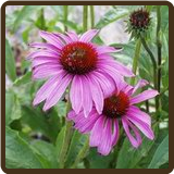 ECHINACEA, ANGUSTIFOLIA (All Natural) - E. angustifolia