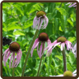 ECHINACEA, PALLIDA (All Natural)