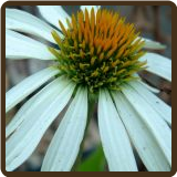 ECHINACEA, WHITE SWAN (All Natural)
