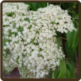 ELDERBERRY (All Natural) - Sambucus cerulea