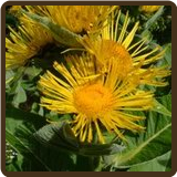 ELECAMPAGNE (All Natural) - Inula helenium