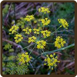 FENNEL, SWEET (All Natural)  - Foeniculum vulgare 'dulce'