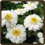 FEVERFEW, DOUBLE FLOWERED (All Natural) -  Tanacetum parthenium sp.