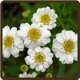 FEVERFEW, SINGLE FLOWER (All Natural) - Chrysanthemum parthenium