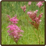 MEADOWSWEET, 'QUEEN OF THE PRAIRIE' (Organic) - Filipendula rubra