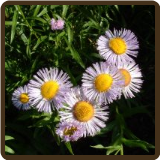 FLEABANE (All Natural) - Inula dysenterica
