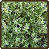 THYME, FRENCH - Thymus vulgaris (All Natural)