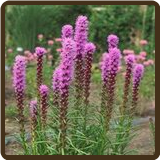 GAYFEATHER (All Natural) - Liatris spicata