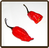 GHOST PEPPER - Capsicum chinense x frutescens