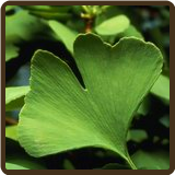GINKGO TREE (All Natural) - Ginkgo biloba