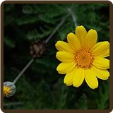 GOLDEN MARGUERITE (All Natural) - Anthemis tinctoria