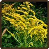 GOLDENROD (All Natural) - Solidago canadensis var.