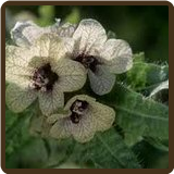 HENBANE (All Natural) - Hyoscyamus niger