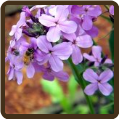 SWEET ROCKET  (Organic) - Hesperis