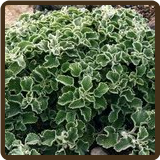 HOREHOUND,  WOOLY (All Natural) - Marrubium incanum
