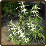 HORSEMINT (All Natural) - Monarda punctata