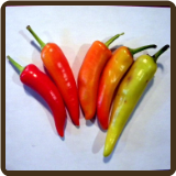 HOT HUNGARIAN WAX PEPPER - Capsicum annuum