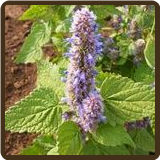 HYSSOP, CAMPHOR (All Natural) - Agastache sp.