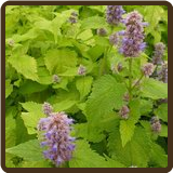 HYSSOP, GOLDEN JUBILEE (All Natural) - Agastache 'Golden Jubilee'