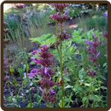HYSSOP, LEMON (All Natural) - Agastache mexicana 'Sangria'