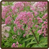 JOE PYE WEED (All Natural) - Eupatorium purpureum