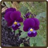 HEARTSEASE (Organic) - Viola Tricolor
