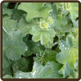 LADY'S MANTLE (All Natural) - Alchemilla vulgaris