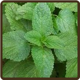 LEMON BALM (Organic) - Melissa officinalis