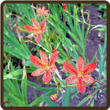 LEOPARD LILY (All Natural) - Belamcanda chinensis