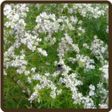 MOUNTAIN MINT (Organic) - Pycnanthemum tenuifolium