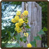 OREGON GRAPE, TALL (Organic) - Berberis aquifolium