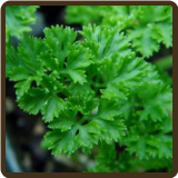 PARSLEY, CURLY (Organic) - Petroselinum crispum