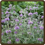 HOREHOUND, PLEATED (All Natural) - Marrubium cylleneum