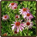 ECHINACEA, PURPUREA (All Natural) - E. purpurea