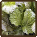RED GIANT MUSTARD GREENS (All Natural)